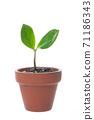 Young leaves of Zanzibar Gem where new shoots grow 71186343