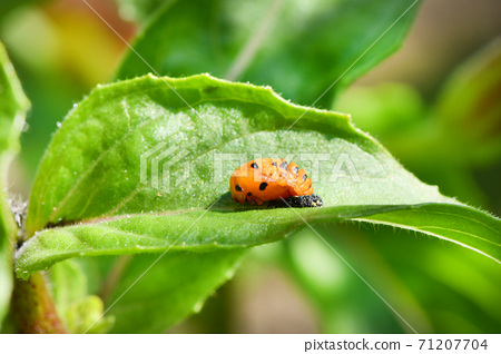 Light Orange Ladybug larva on the green leaf, pupal stage. High resolution photo. Selective focus. 71207704