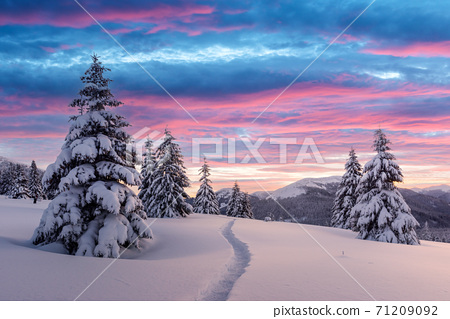 Dramatic wintry scene with snowy trees. 71209092
