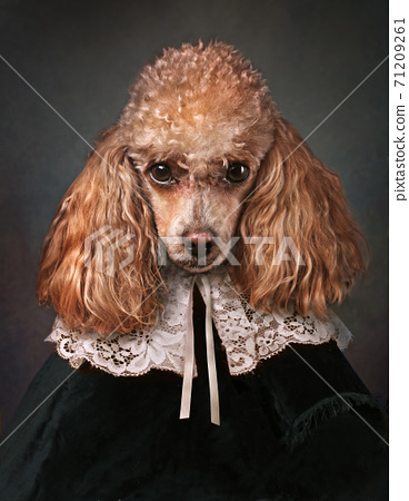 Portrait of Miniature Poodle in collar.  71209261