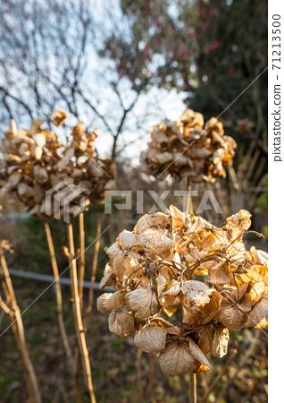 우메미야 타이 샤, 冬枯れ의 정원을 장식 북쪽 신사의 정원의 시들어 수국 71213500
