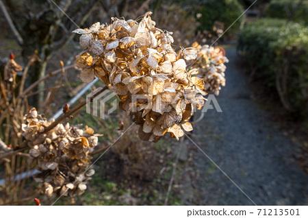 우메미야 타이 샤, 冬枯れ의 정원을 장식 북쪽 신사의 정원의 시들어 수국 71213501
