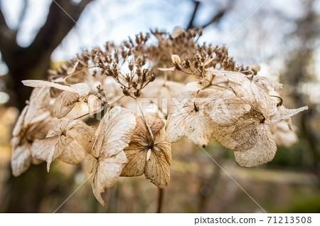우메미야 타이 샤, 冬枯れ의 정원을 장식 북쪽 신사의 정원의 시들어 수국 71213508