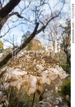 우메미야 타이 샤, 冬枯れ의 정원을 장식 북쪽 신사의 정원의 시들어 수국 71213509