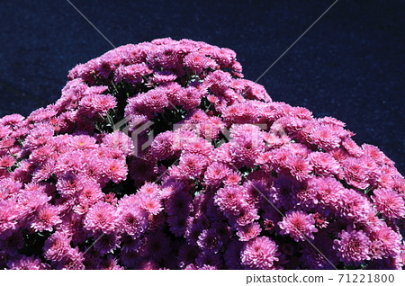 국화꽃이 아름다운 가을 풍경 71221800