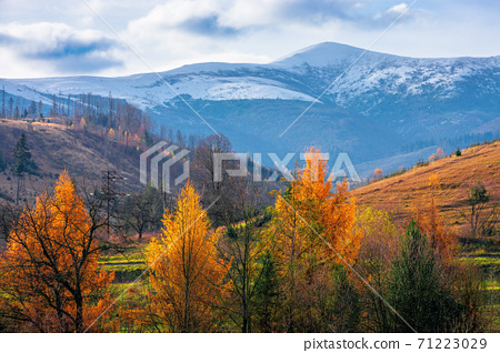 sunny afternoon in mountainous countryside. trees in autumn foliage. snow capped peak in the distance. beautiful rural area of carpathians 71223029