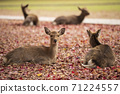 A deer sitting on the fallen leaves of Nara Park in Nara City, Nara Prefecture 71224557