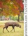 Deer under the autumn leaves in Nara Park, Nara City, Nara Prefecture 71224558