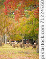 Deer under the autumn leaves in Nara Park, Nara City, Nara Prefecture 71224560