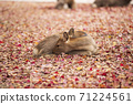 A deer sitting on the fallen leaves of Nara Park in Nara City, Nara Prefecture 71224561