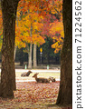 A deer sitting on the fallen leaves of Nara Park in Nara City, Nara Prefecture 71224562