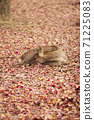 A deer sitting on the fallen leaves of Nara Park in Nara City, Nara Prefecture 71225083