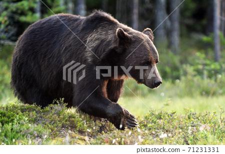 Wild brown bear (Ursus arctos) 71231331