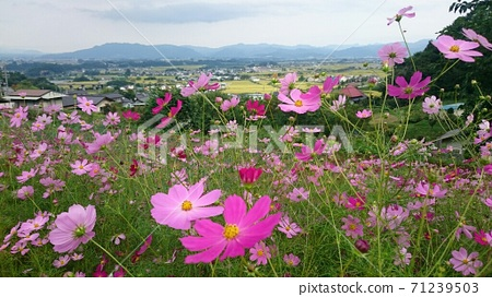 Saku City, Nagano Prefecture, a cosmos field in full bloom at the foot of the mountain 71239503