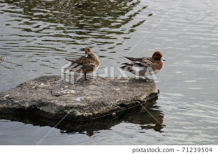 熊本市水前寺公園在池塘中放鬆的鴨子 71239504