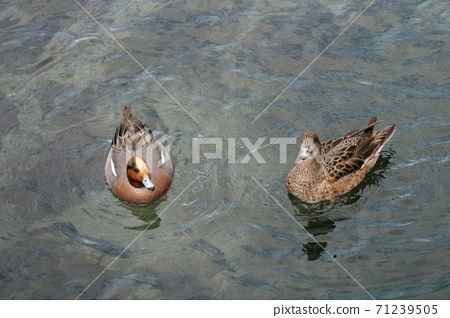 A duck relaxing in a pond at Suizenji Park in Kumamoto City 71239505