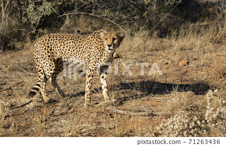 Cheetah walks slowly across desert scrub 71263436