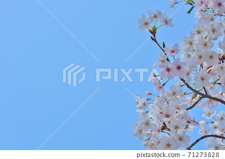 효고현 夙川 하천 부지 녹지에 피는 꽃의 왕 벚나무의 벚꽃 71273828