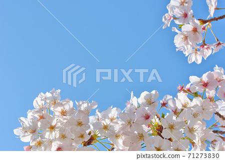 효고현 夙川 하천 부지 녹지에 피는 꽃의 왕 벚나무의 벚꽃 71273830