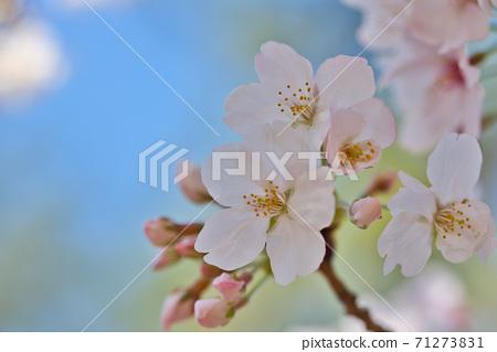 효고현 夙川 하천 부지 녹지에 피는 꽃의 왕 벚나무의 벚꽃 71273831
