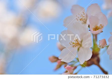 효고현 夙川 하천 부지 녹지에 피는 꽃의 왕 벚나무의 벚꽃 71273832