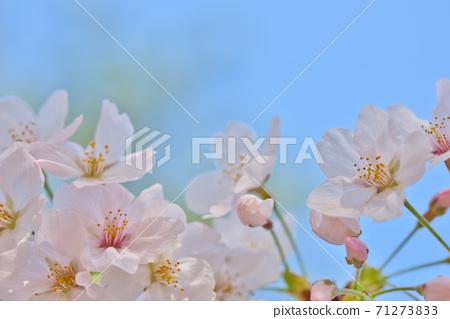 효고현 夙川 하천 부지 녹지에 피는 꽃의 왕 벚나무의 벚꽃 71273833