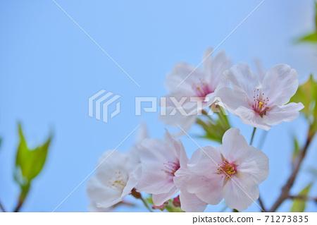 효고현 夙川 하천 부지 녹지에 피는 꽃의 왕 벚나무의 벚꽃 71273835