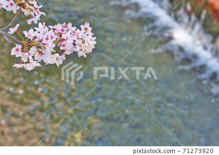 효고현 夙川 하천 부지 녹지에 피는 꽃의 왕 벚나무의 벚꽃 71273920