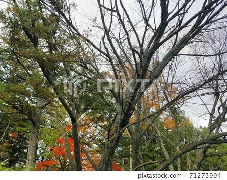 Kusatsu autumn leaves 71273994