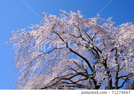 垂青的櫻花在藍天下[相模原市築井市,4月] 71279667