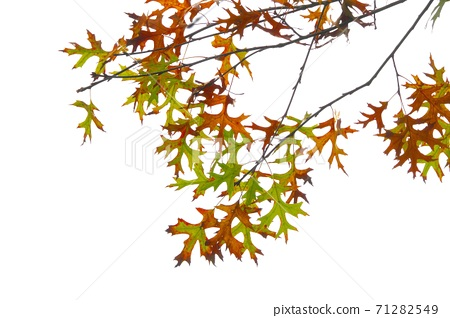Autumn leaves of pin oak (Swamp Spanish oak) with unique leaf shape 71282549