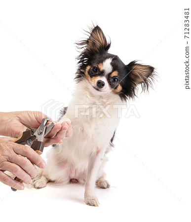 Person who cuts the top long claws of a chihuahua 71283481