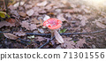 Red poisonous fly agaric in a clearing in the forest. Amanita Muscaria. Forest. Magic mushroom 71301556