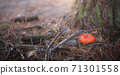 Red poisonous fly agaric in a clearing in the forest. Amanita Muscaria. Forest. Magic mushroom 71301558