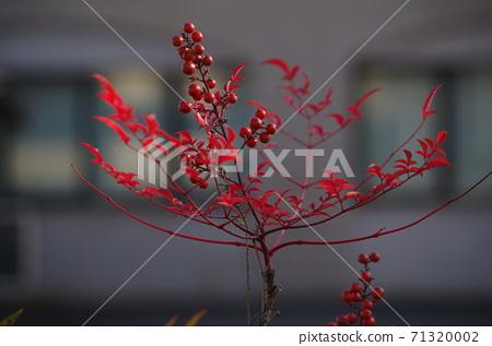 빨간 열매 남천. 71320002
