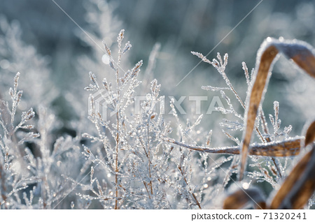 Ears of dead grass that glow white, covered with frost crystals 71320241