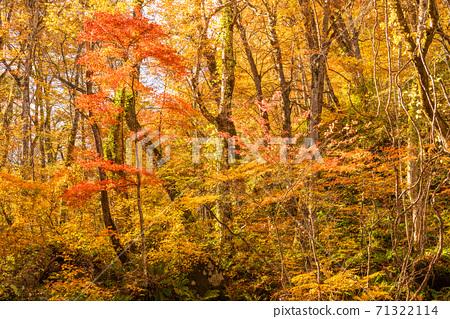 《青森縣》秋天的奧入瀨溪流,秋天的落葉和清澈的溪流 71322114