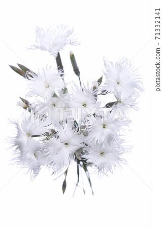 White mini carnation flowers isolated on white background 71332141