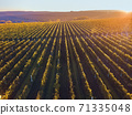 Green and red vineyard rows at sunset 71335048