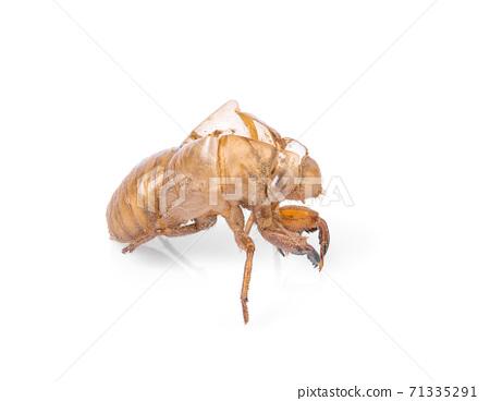 cicada isolated on white background. 71335291