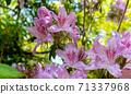 Azaleas bloom in spring at Kameyama Park, Kyoto, Japan 71337968