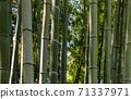 Bamboo Tree stalks up close in Kyoto, Japan 71337971