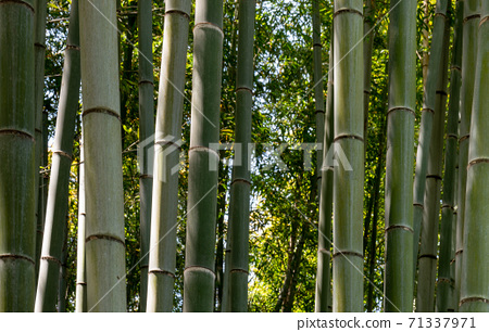 Bamboo Tree stalks up close in Kyoto, Japan 71337971