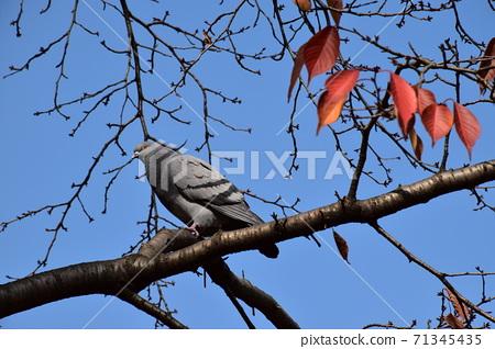 樹枝上的肥鴿 71345435