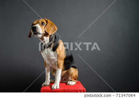 beagle puppy dog looking up on gray screen 71347064