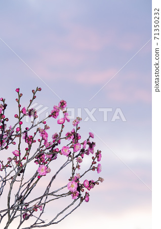 Winter scenery with red plums and sunset clouds in the background-2 71350232