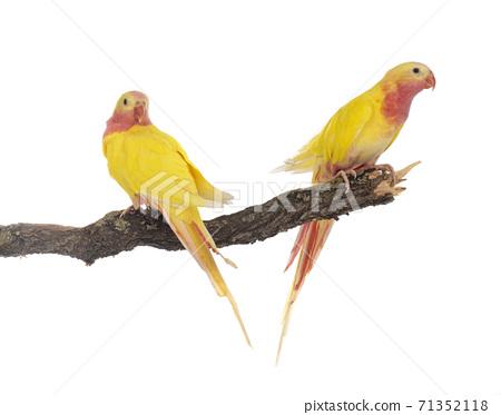 Princess parrot in studio 71352118