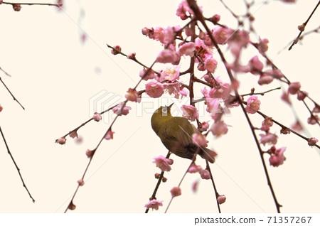 櫻花 繡眼 植物 野生鳥類 71357267