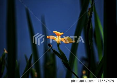 鳶尾花 花朵 植物 黃花 藍色 背景 71357479