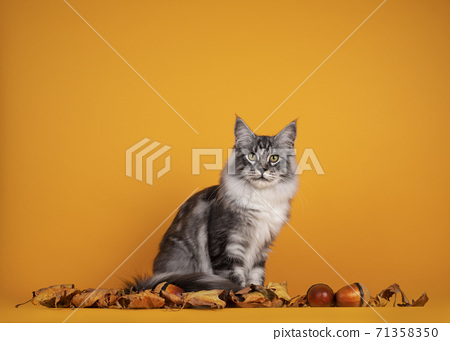 Maine Coon cat on yellow background 71358350